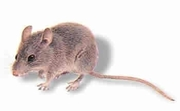 The Mice Specialist - House Mouse Control